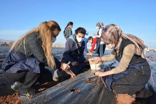 Kızıltepe'de kadınlar 100 bin çilek fidesini toprak buluşturdu