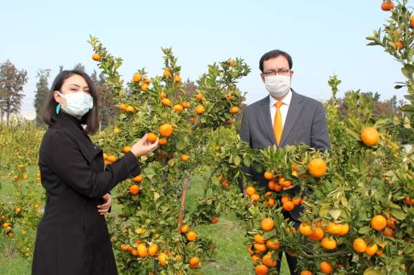 Mandarinde 2 yeni yerli ve milli çeşit geliştirildi
