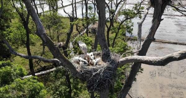 'Leylek Ormanı'nın sakinleri yavrularını büyütüyor