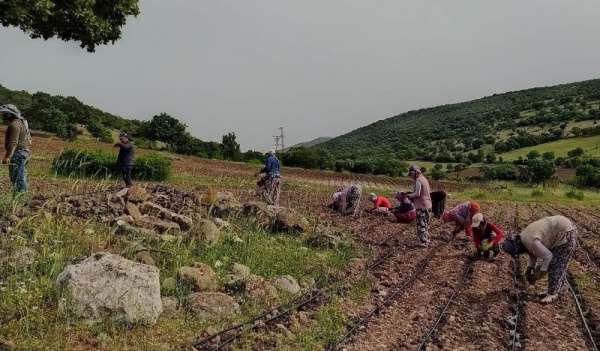 Manisa Büyükşehir Belediyesi 80 dekarlık araziye hayat verdi