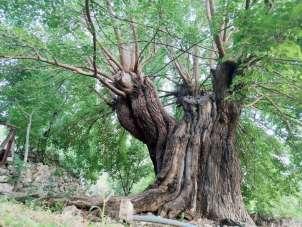 Dedelerinin dedeleri dikti, asırlık ağaçlar halen dut veriyor