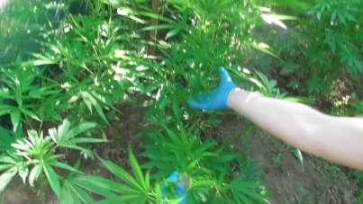 Fındık bahçesinin içinde özel kenevir yetiştiriyordu