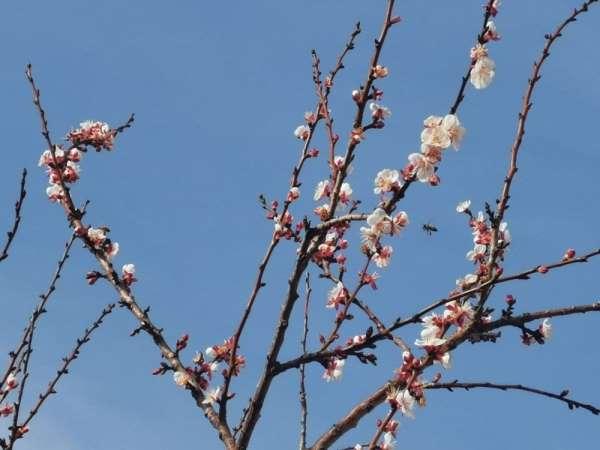 Tokatta kış ortasında meyve ağaçları çiçek açtı