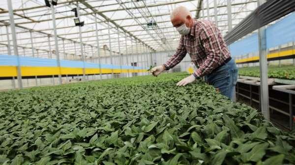 Tokat'ta, korona virüs sebze fidesi üretimine engel olmadı