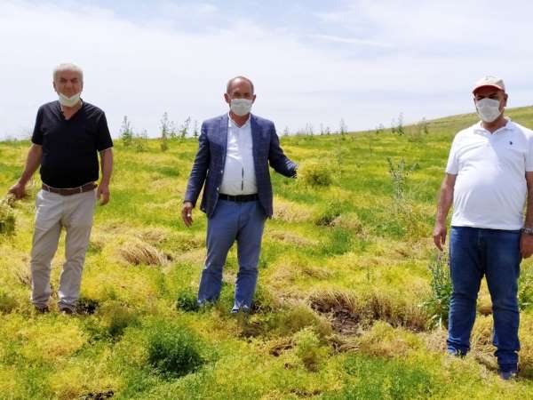 Silvan'da sarı mercimek üretimine başlandı
