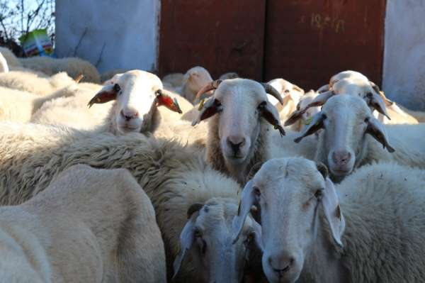 Bu koyun, üreticisine az maliyetle çok verim elde ettiriyor