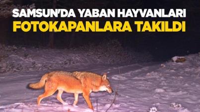 Samsun'da yaban hayvanları fotokapanlara takıldı