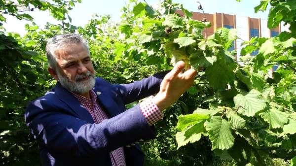 Korona virüsü sürecinde üreticiler bahçeye girdi, fındık kalitesinin yüksek olma
