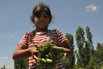 Türkiye'nin bezelye ihtiyacının yüzde 35'ini karşılayan Sinanpaşa'da hasat başla