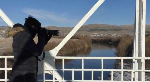 Yeşilbaş yaban ördekleri Kafkas Üniversitesi Sulak Alanı'nda