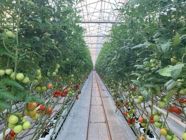 Fabrika baca atıklarıyla ısıtılan serada domates yetiştiriyorlar