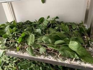 Kapama dut bahçesinde deneme üretimi başladı