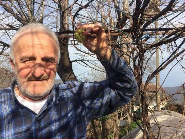 Üzüm asması kış ortasına meyve verdi
