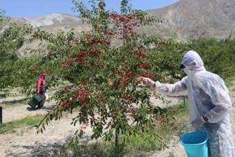 Erzincan'da 95 ülkeye vişne ihracatı