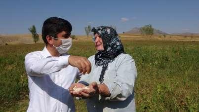 Lezzetiyle ünlü Tufanbeyli fasulyesinde hasat başladı
