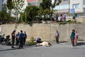 Sinop'ta yüksekten düşen inek saatlerce kurtarılmayı bekledi