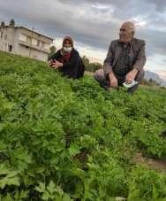 Türlü ve menemen için bahçelerde son sebzeler toplanılıyor