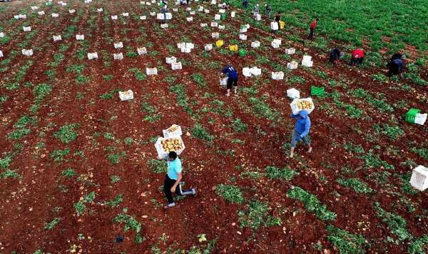 Adana'da turfanda patatese buruk hasat