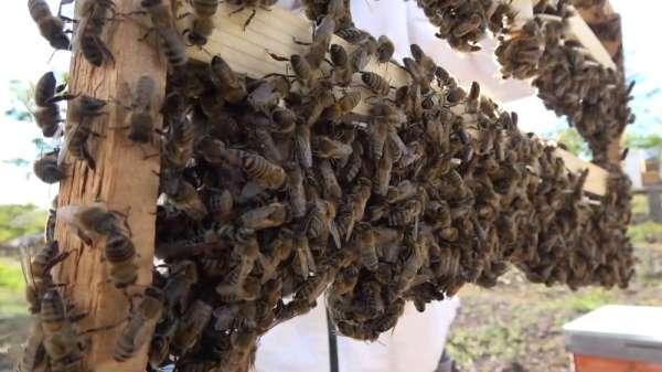 Bal üreticisinin yeni gelir kapısı 'Kraliçe Arı': tanesi 75 lira
