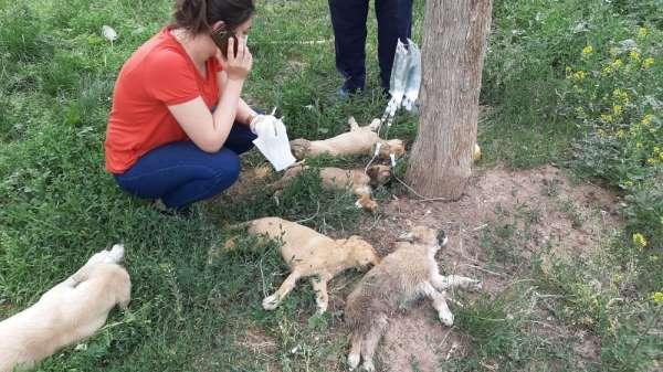 Tokat'ta yürekli burkan görüntü; 5 yavru köpek ölmek üzereyken bulundu
