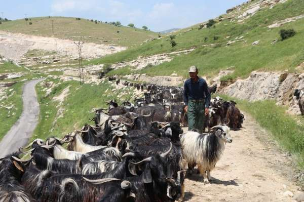 Siirt'ten büyük şehirlere gönderilecek kurbanlıklar hazır