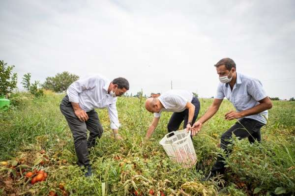 Başkan Soyer domates hasadı yaptı