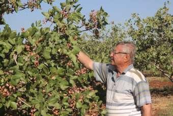 Dünyada benzeri olmayan fıstık Kilis'te üretiliyor