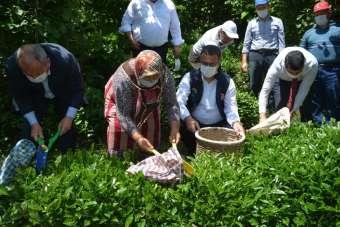 Fındık diyarı Ordu'da 'çay' hasadı