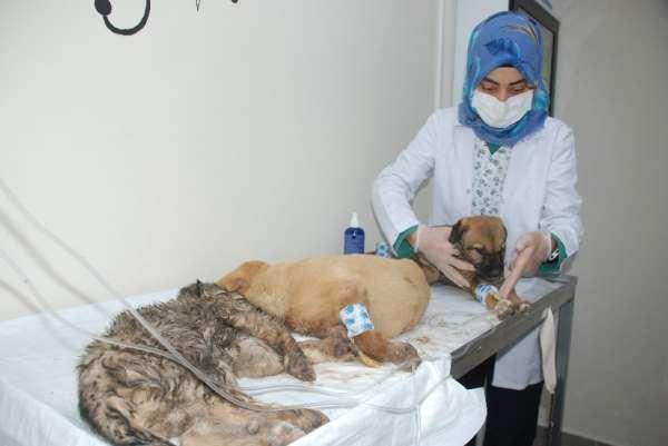 Zehirlenen 5 yavru köpekten 1'i kurtarılamadı