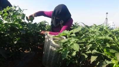 Suriye sınırında en acı hasat