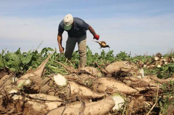 Konya'da şeker pancarı çiftçinin yüzünü güldürüyor