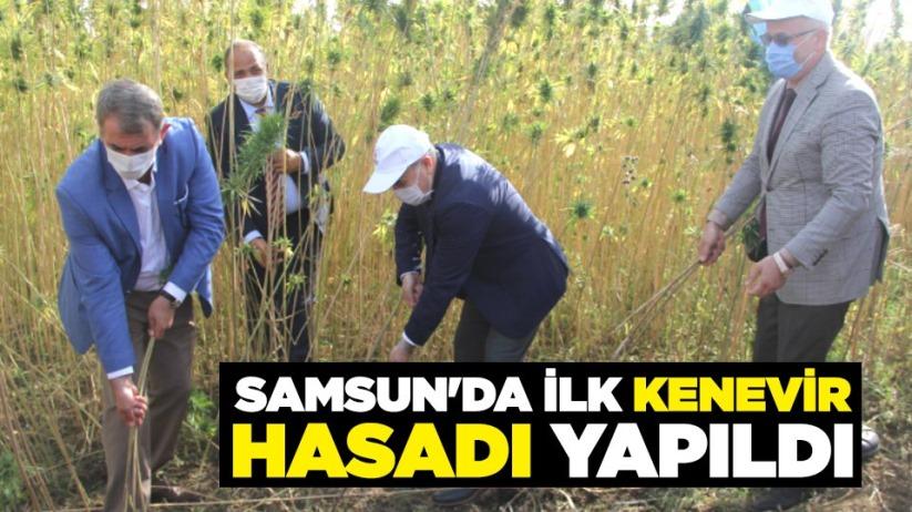 Samsun'da ilk kenevir hasadı yapıldı