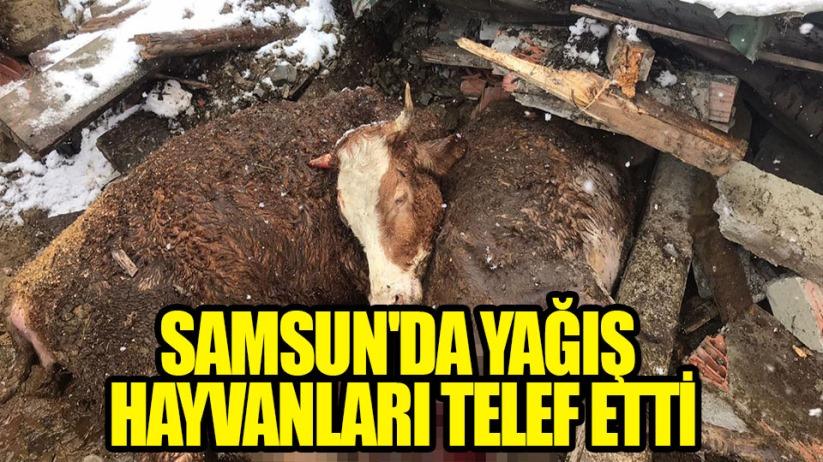 Samsunda yağış hayvanları telef etti