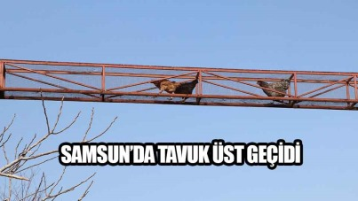 Samsun'da tavuk üst geçidi yapıldı