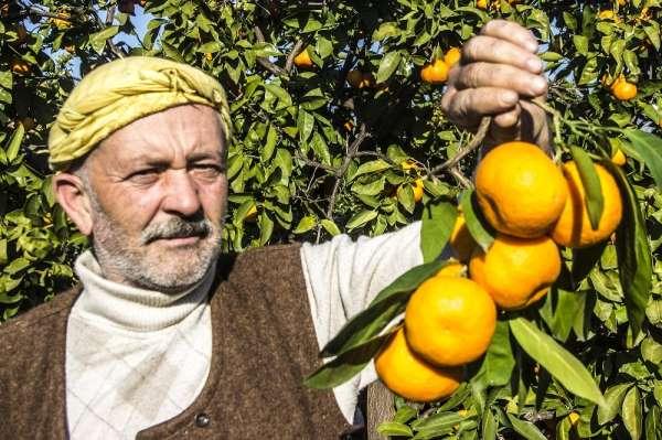 (Özel) 50 yıl önce Balıkesir'de hobi diye başlayan mandalina üretimi dev bir sek