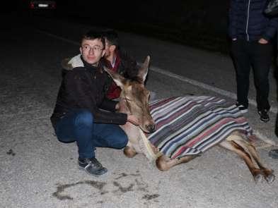 Boluda yaralı halde bulunan geyik tedavi altına alındı