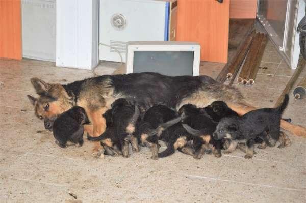 6 beklerken 11 yavru doğurdu, sahiplendirilecekler