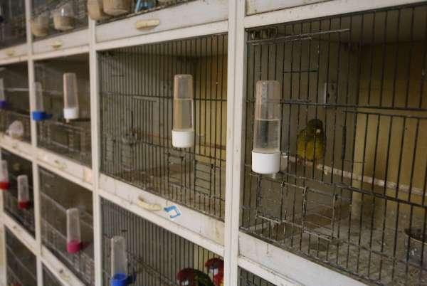 Kafes kuşu piyasasını pandemi vurdu, fiyatlar uçtu