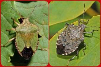 Fındıkta yeşil ve kahverengi kokarcaya karşı mücadele uyarısı