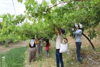 Meyvesi 2, yaprağı 10 liradan satılıyor