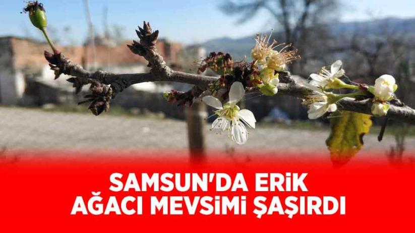 Samsun'da erik ağacı mevsimi şaşırdı