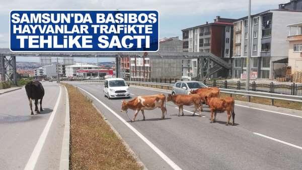 Samsun'da başıboş hayvanlar trafikte tehlike saçtı