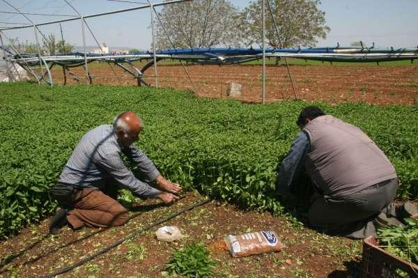 Sokağa çıkma yasağı Kilis'te organik sebze talebini arttırdı