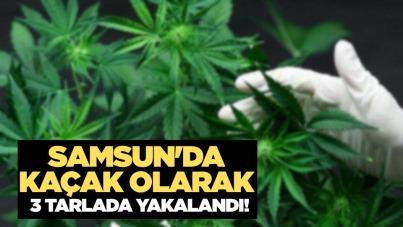 Samsun'da kaçak olarak 3 tarlada yakalandı!