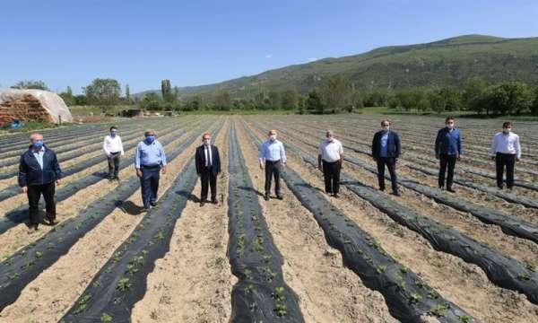Amasya'da elmanın yanına 'çilek' geliyor