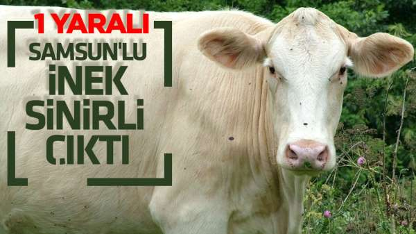 Samsun'da inek sahibini hastanelik etti.