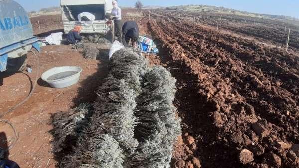 Mardin'de, üretimi rağbet gören fıstık ve lavanta aynı tarlada toprakla buluştu