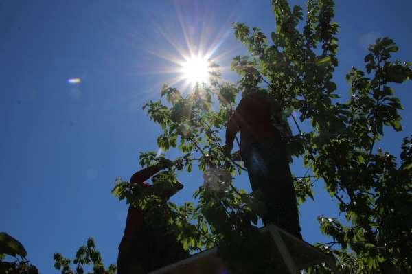 Mevsimlik işçilerden bayramda turfanda kirazı hasadı