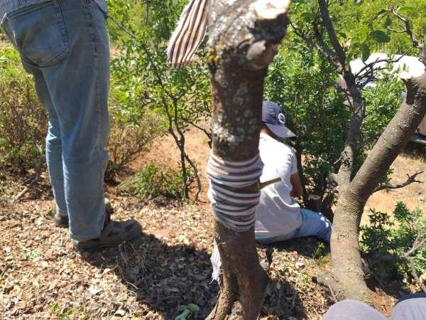 Menengiç ağaçları fıstığa aşılanıyor