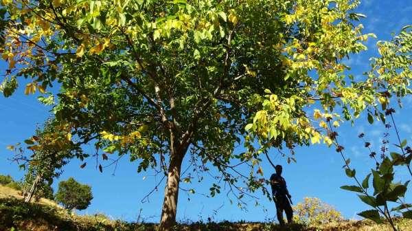Erzincanın Sancak kenti Kemah: 32 bin ceviz ağacı yetiştiriciliği ile ekonomiye katkı sağlıyor